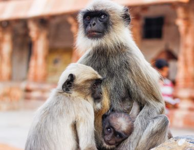 Hampi Monkeys